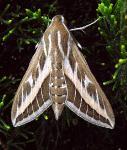 c:коричневые,s:бабочки,s:дневные бабочки