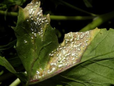 Albugo candida в садоводстве называется *белая ржавчина*. Этот Оомицет поражает разные виды Крестоцветных растений. Автор фото: Александр Гибхин