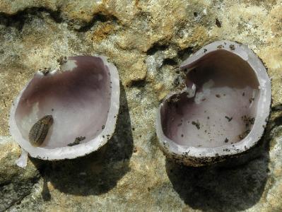 Гриб найден в феврале на горе Кармель под дубами. Автор фото: Александр Гибхин