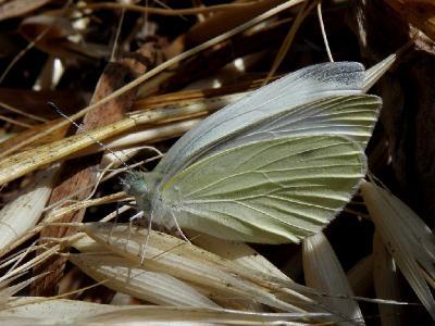 Бабочка надена не далеко от города Ашдод на лугу. Автор фото: Александр Гибхин