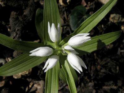 Пыльцеголовник длиннолистный (Cephalanthera longifolia) Автор: Александр Гибхин