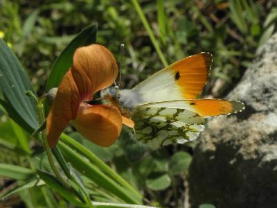 Лёт этих бабочек в Израиле начинается в феврале и продолжается до конца весны. Автор фото: Александр Гибхин