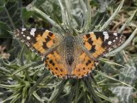 s:дневные бабочки,c:красно-коричневые,c:с темными пятнами