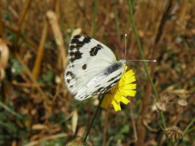 Распространённые в Израиле бабочки. Встречал их в лесах и на лугах севера и центра Израиля. Автор фото: Александр Гибхин