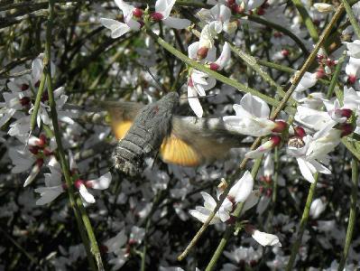 Бабочка из семейства Бражников. Самый часто встречающийся бражник. Мной был наблюдаем на  лугах в центре страны. Автор фото: Александр Гибхин