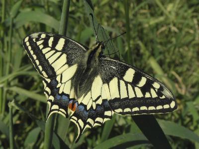Махаон (Papilio machaon) Автор: Александр Гибхин