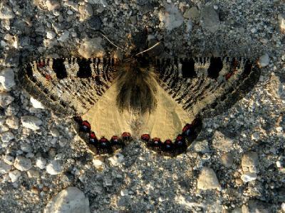 Возвращаясь вечером из леса, заметил эту бабочку, сидящей на тропинке и греющуюся под вечерними лучами солнца. Бабочка тоже заметила меня, но не испугалась,а только отползла в сторону, давая мне пройти по тропинке. Даже, когда я чуть ли не в упор её фотографировал, не захотела улетать. Автор фото: Александр Гибхин