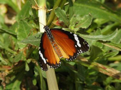 Эта бабочка была встречена мной возле города Ашдода в марте не далеко от цитрусовой плантации. Автор фото: Александр Гибхин