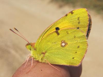Бабочка желтушка.Распространена по всей територии Израиля Автор фото: Александр Гибхин