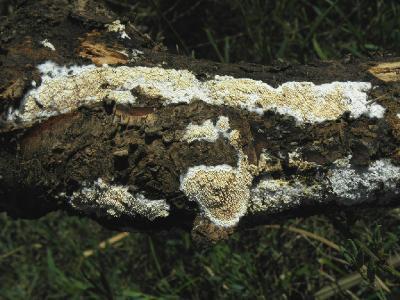 Грибы найдены на валеже Тамарикса рядом с городом Ашдод, на берегу речки Лахиш. Автор фото: Александр Гибхин