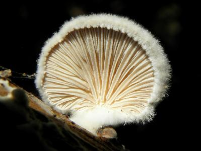 Очень распространённый вид грибов. Встречается круглый год на валеже Акации ивовой Автор фото: Александр Гибхин