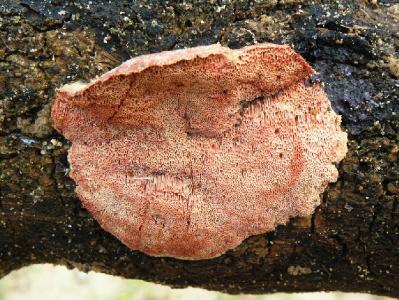 Единственная зафиксированная находка этого вида грибов в Израиле. Грибы были найдены на валеже Фигового дерева в конце февраля 2006 года, рядом с городом Ашдод. Автор фото: Александр Гибхин