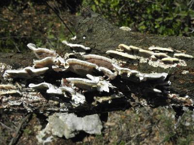 Грибы найдены на дубовом валеже в марте, рядом с городом Зихрон Яков. Автор фото: Александр Гибхин