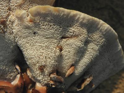 В Израиле определены относительно недавно. Первые обнаруженные грибы расли летом в парках, где есть полив. В последнее время Абортипорусы можно встретить так же зимой в сезон дождей в дикой природе в акациевых зарослях. Автор фото: Александр Гибхин