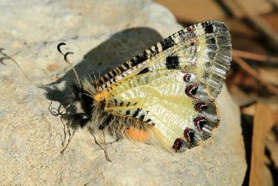 Очень красивые бабочки. Обитают в лесах на севере и в центральной части Израиля. Автор фото: Александр Гибхин