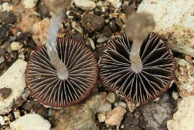 Грибы найдены на горе Кармель в ноябре 2017 года. Росли в смешанном лесу, на дне сухого ручья, после не продолжительных дождей. Автор фото: Александр Гибхин