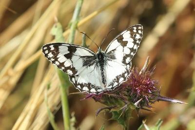Эти бабочки обитают в лесах на севере Израиля. Автор фото: Александр Гибхин