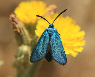 Эти бабочки встречаются в лесах по всему Израилю. Автор фото: Александр Гибхин
