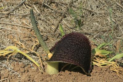 Растения найдены на песчаной почве рядом с городом Ашдод.  Апрель. 2018. Автор фото: Александр Гибхин