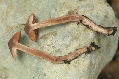 Грибы найдены в середине января 2018 года на горе Кармель, на севере Израиля под дубами. Грибы растут в опавших дубовых листьях и из-за своего цвета и небольших размеров, были малозаметными. Автор фото: Александр Гибхин