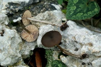 Грибы найдены на горе Кармель в конце декабря 1017 года в смешанном лесу. Автор фото: Александр Гибхин