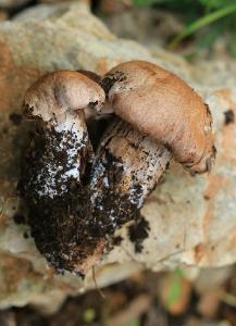 Грибы найдены в середине января 2018 года на горе Кармель под дубами. Автор фото: Александр Гибхин