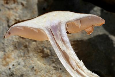 Грибы найдены в середине января 2018 года на горе Кармель под дубами. Хорошо отличаются войлочно-бархатистыми шляпками, к которым не прилипает мусор. Автор фото: Александр Гибхин