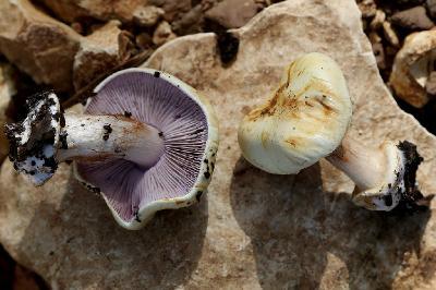 Грибы найдены на горе Кармель в январе 2018 года под дубами. Автор фото: Александр Гибхин