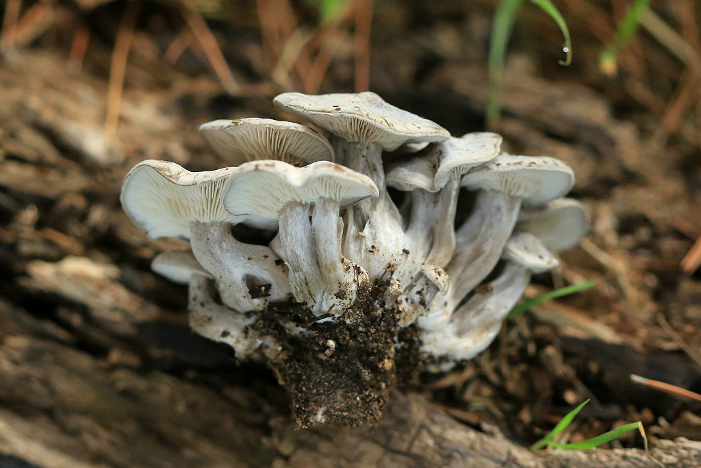 Лиофиллум скученный (Lyophyllum decastes) Автор фото: Александр Гибхин
