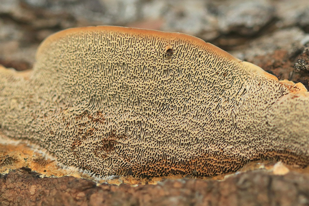 Глеофиллум вытянутый (Gloeophyllum protractum). Автор фото: Александр Гибхин