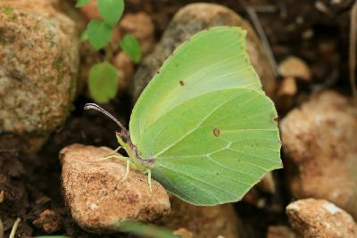Эти бабочки обитают на севере Израиля, их часто можно встретить в конце зимы и весной в лесах на цветущих полянах. Автор фото: Александр Гибхин