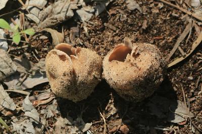 Грибы найдены в феврале рядом с поселением Ницан под тополями. Плодовые тела в раскрытом состоянии достигают 10см и более. Автор фото: Александр Гибхин