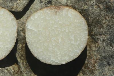 В Израиле этот вид широко распространён в дубовых лесах. Растёт гипогенно. Сбор этих грибов затруднён из-за каменистой почвы. Хотя, для диких кабанов найти эти грибы не составляет труда. По этой причине почва в местах роста этих грибов, весной вся перерыта. В таком месте и были найдены мной три гриба, не замеченных кабанами. Вкус у грибов сладковатый,консистенция, как у грецкого ореха, запах мне понравился, хотя пишут,что может быть не приятным. Автор фото: Александр Гибхин