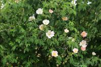 s:кустарники,c:светло-розовые,c:белые,околоцветник актиноморфный,лепестков 5,ягоды красные,d:в Израиле,s:листопадные кустарники