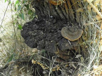 Старый гриб крупных размеров. Для сравнения на нём справа лежит старое плодовое тело Трутовика тамарискового, размером 13см.  Автор фото: Александр Гибхин
