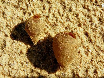 Пецица песчаная (Peziza ammophila) Автор: Александр Гибхин