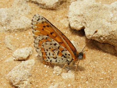 Небольшая, красивая бабочка. Обитает в полупустынях. Автор фото: Александр Гибхин