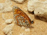 s:дневные бабочки,c:c белыми пятнами,c:желтовато-коричневые