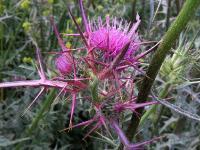 s:травянистые,c:розовые,d:в Израиле,с колючками