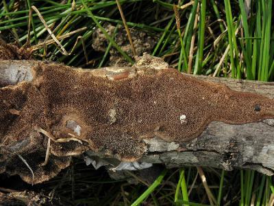 Coriolopsis gallica Автор: Александр Гибхин