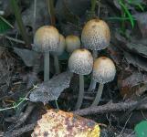 Навозник мерцающий (Coprinus micaceus)