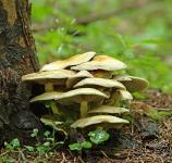Ложноопенок серно-желтый (Hypholoma fasciculare)Воронеж, лесной массив внутри городской черты.Посадка сосны.