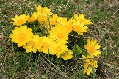 Адoнис (Гoрицвет) весенний  Автор фото: Йохан Метте