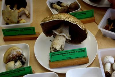 Выставка любителей грибов    Agaricus augustus (Шампиньон августовский) Автор фото: Йохан Метте