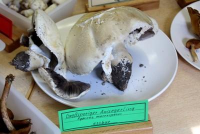 Выставка любителей грибов Agaricus macrosporus (Шампиньон крупноспоровый)    Автор фото: Йохан Метте