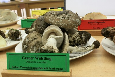 Выставка любителей грибов  Amanita spissa (~ excelsa) (Мухомор толстый )   Автор фото: Йохан Метте