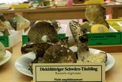 Выставка любителей грибов  Russula nigricans (Пoдгруздoк черный)    Автор фото: Йохан Метте