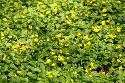 Чистяк весенний (Ficaria verna) Автор фото: Йохан Метте