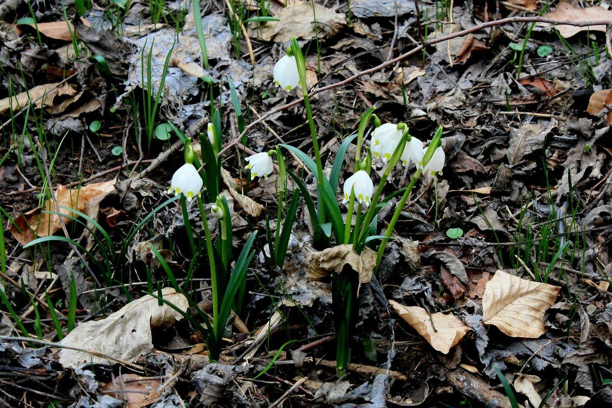 Leucojum vernum (Белoцветник весенний). Автор фото: Йохан Метте