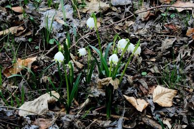 Белоцветник весенний (лат. Leucojum vernum) — вид растений рода Белоцветник семейства Амариллисовые. Автор фото: Йохан Метте